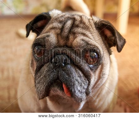 Pug With An Intriguing Look. Funny Dog Photo. Cute Eyes Animal Portrait.