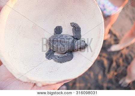 Black Turtle Hatchling Held In Coconut Shell.