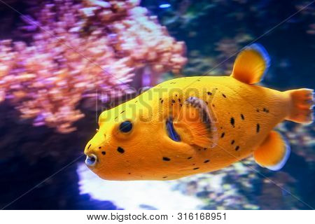 A Blackspotted Puffer Swimming At High Speed By The Corals. The Purple Coral Emphasizes The Beautifu