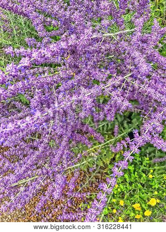 Beautyful Lilac Blooming Bush Of Catnip. Catmint