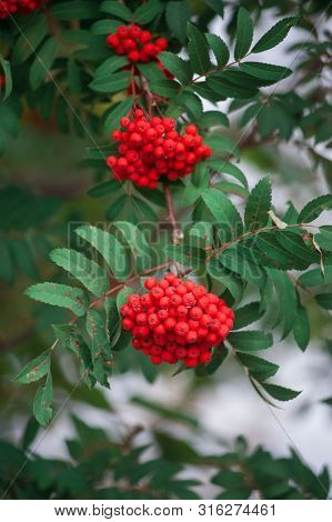 Rowan on a branch. Closeup vertical photo. Red rowan berries on rowan tree. Sorbus aucuparia.