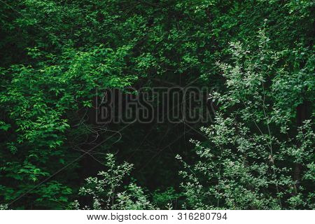 Natural Green Background Of Lush Thickets In Dark Forest. Darkness Behind Bewitched Branches Of Myst