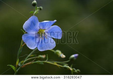 Beautiful Blue Flowers Of Flax. Macro Shot