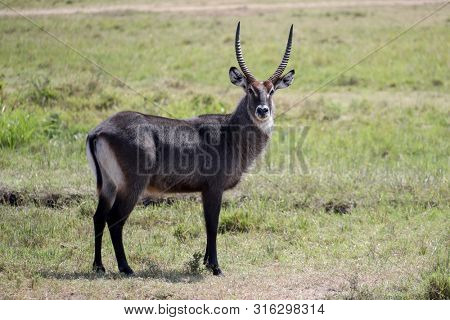A solitary water buck looks out for predators while grazing in the grasslands of the Maasai Mara National Park, Kenya
