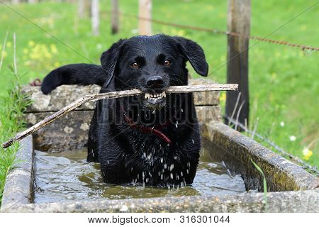 Close up portrait of a wet black Labrador standing in a water trough while chewing a stick poster