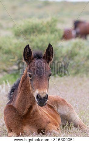 A Cute Wild Horse Foal In The Utah Desert In Late Spring