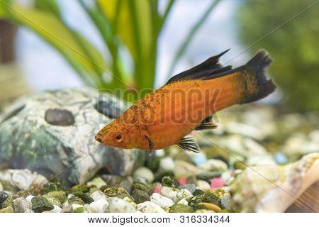 Tropical Colorful Fishes Swimming In Aquarium With Plants. Goldfish, Carassius Auratus, Captive. Fis