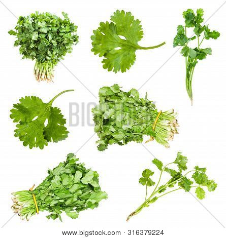 Collection Of Fresh Cilantro Herbs Isolated On White Background