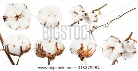 Collection Of Dried Ripe Boll Of Cotton Plant With Cottonwool On Branch Isolated On White Background