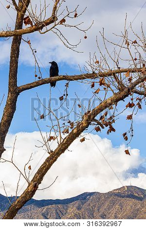 eucalyptus branches and twigs with fall leaves and seedpods, with a black crow on a limb poster