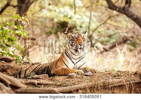 Wild Bengal Tiger (panthera Tigris Tigris) Having Rest During Hot Day In Its Natural Habitat.rantham