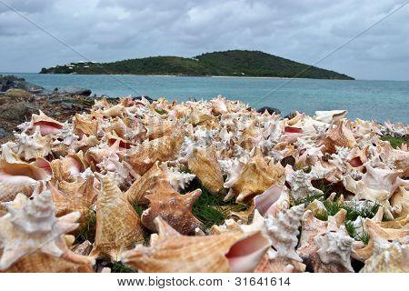 Drying Conch Shells
