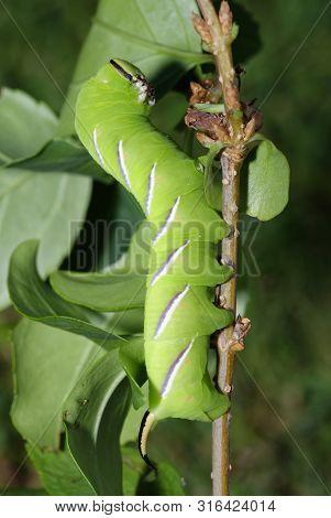 Privet Hawkmoth Caterpillar - Sphinx Ligustri  In Defensive Pose