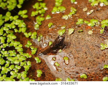 Close Up Of A Tadpole Nearly Turned Into A Frog On A Stone In Green Algae Covered Water