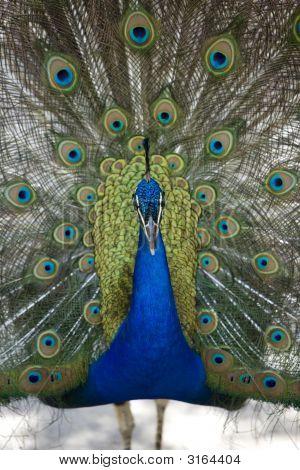 Peacock Presenting 3