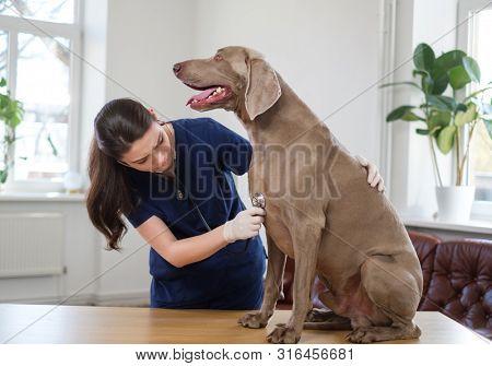 Veterinary surgeon and weimaraner dog at vet clinic poster