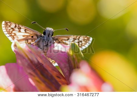 Brown Checkered Skipper Sitting On Purple Flower Showing Face And Both Antenna.