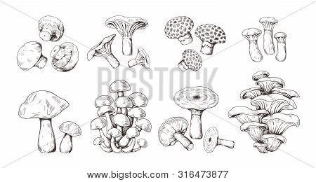 Hand Drawn Mushrooms. Vintage Sketch Of Shiitake Champignon Fungus Chanterelle, Isolated Organic Foo