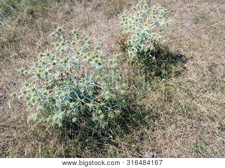 Closeup Of Two Field Eryngo Or Eryngium Campestre Plants Growing Among The Dried Grass In A Dutch Na