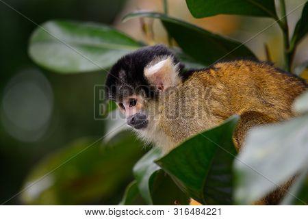Portrait O Fa Common Squirrel Monkey (saimiri Sciureus) Climbing In A Tree