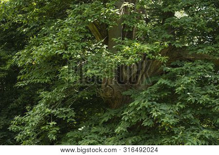 Beautiful Close Up Landscape Image Of Ash Fraxinus Excelsior Tree In English Countryside