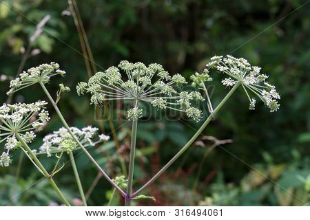 White flowering plant, Caraway or meridian fennel poster