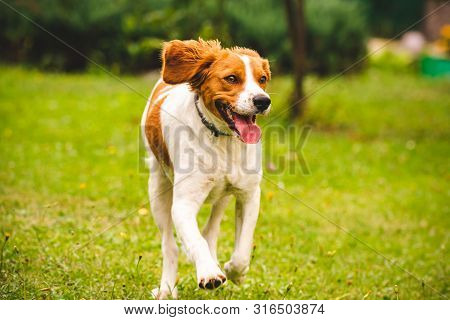 Breton spaniel puppy running towards camera, copy space on right. poster