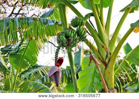 Banana Flower - The Teardrop-shaped Purple Flower At The End Of The Banana Fruit Cluster In A Banana