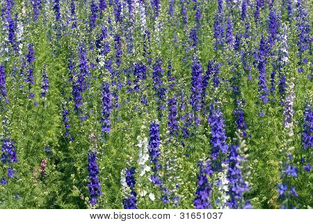 Field of Rocket Larkspur
