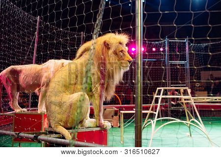 Lion In Circus Arena Cage. Performance In The Circus Arena.