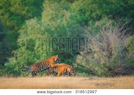 Wildlife Scene Of Playful Tiger Cubs. These Two Tiger Cubs Playing, Running And Learning Fighting Sk