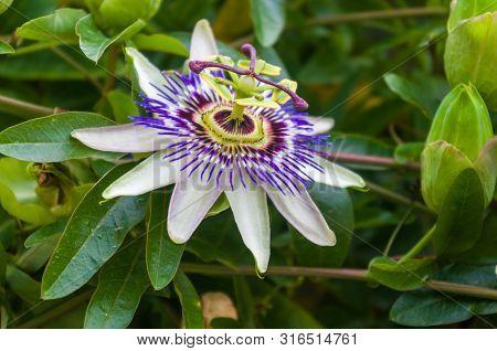 Passion Flower Passiflora Caerulea Passionflower Against Green Garden Background