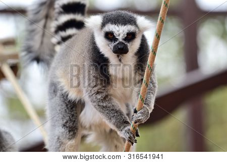Portrait Of A Ring Tailed Lemur (lemur Catta) Climbing Along A Rope In A Zoo Enclosure