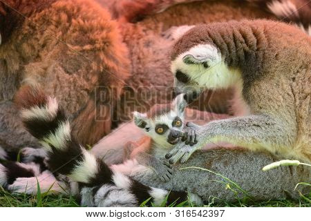 Close Up Of A Ring Tailed Lemur (lemur Catta) With A Baby Lemur