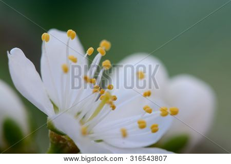 Macro Shot Of A Sloe Blossom Flower