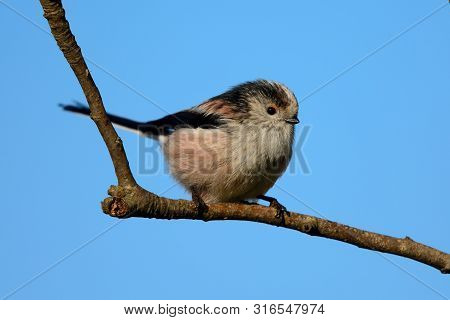 Portrait Of A Long Tailed Tit (aegithalos Caudatus) Perching On A Branch