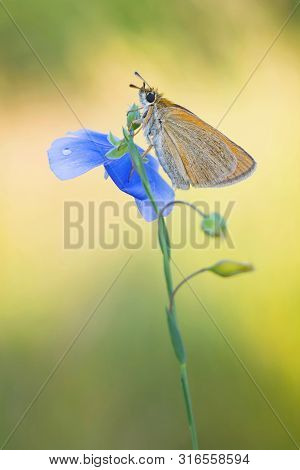 Beautiful Butterfly On The Summer Morning Meadow. The Side View Of A Brown Butterfly. Insect With Pa