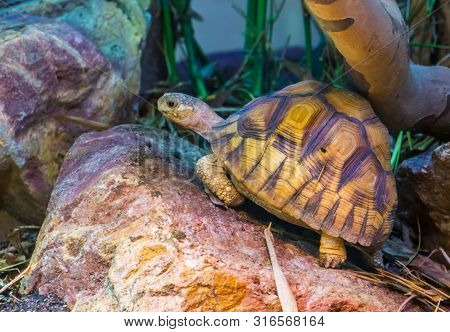Closeup Of A Angonoka Tortoise, Critically Endangered Land Turtle Specie From Madagascar