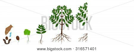 A Growth Cycle Of Coffee Plants Isolated On A White.