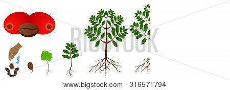 A Growth Cycle Of Coffee Plants Isolated On A White Background.