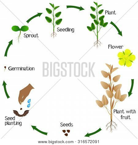 A Growth Cycle Of Jute Plant On A White Background.