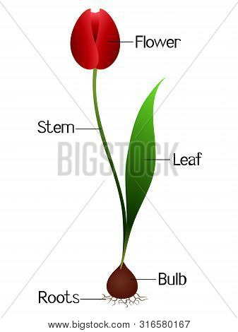An Illustration Showing Parts Of A Tulip Plant.