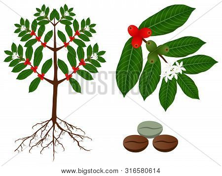 A Parts Of Coffee Plant On A White Background.