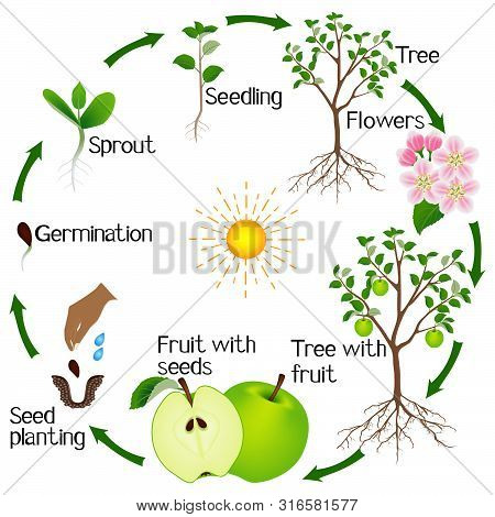 Apple Tree Life Cycle Isolated On White Background.