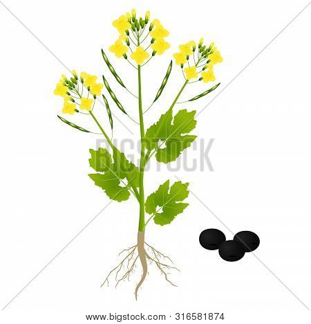 A Rape Plant On A White Background.