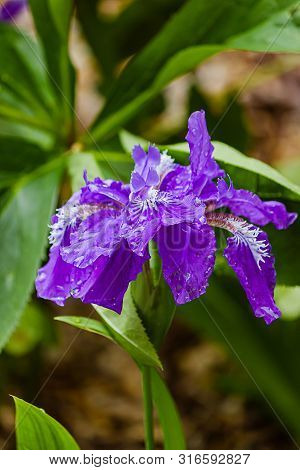 Purple Iris With Leafy Background, Iridaceae,  In Bright Sunlight