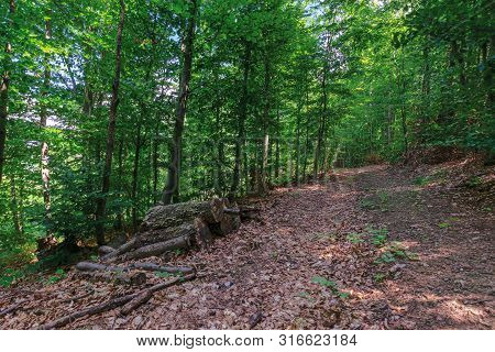 Path Through Primeval Beech Forest. Beautiful Summer Scenery. Abandoned Old Logs Among The Fallen Fo