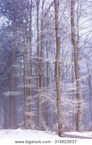 Winter Forest In Fog And Hoarfrost. Beautiful Woodland Scenery In The Morning. Wonderful Nature Scen