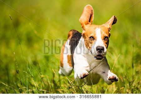 Beagle Dog Fun On Field Outdoors Run And Jump Towards Camera With Feet And Ears Midair. Dog Backgrou