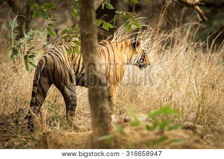 poster of Wild Bengal Tiger (Panthera Tigris Tigris) walking in forest during hot day in its natural habitat.Ranthambore National Park, Rajasthan, India, endangered species, big beautiful cat